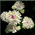 SO5152 : White Astrantia flowers by Jonathan Billinger
