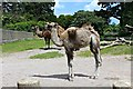SH8378 : Willow the young Bactrian Camel (Camelus bactrianus) is growing by Richard Hoare