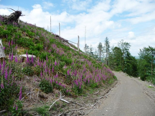 Foxgloves in a felled area, Wythop Woods