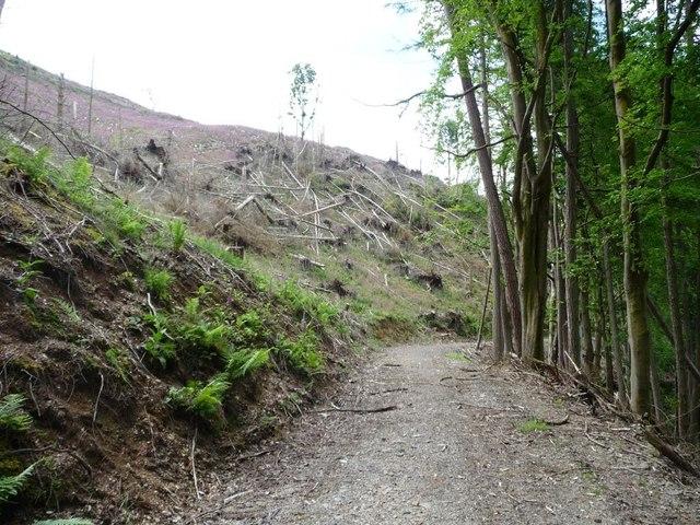 Fallen trees in a felled area, Wythop Woods