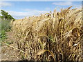 TM3876 : Barley Crop off the B1117 Walpole Road by Adrian Cable