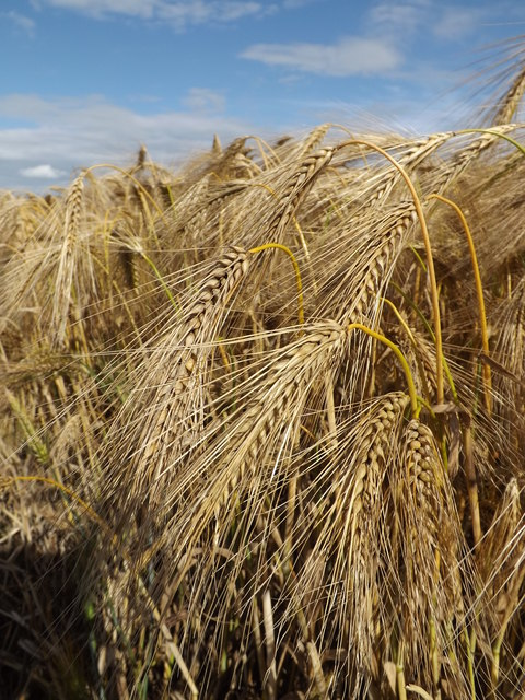 Barley Crop off the B1117 Walpole Road