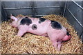SJ7177 : Sleepy Pig at the Royal Cheshire Show by Jeff Buck