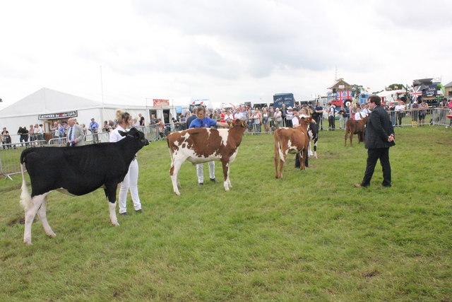 Calf Judging at the Royal Cheshire Show