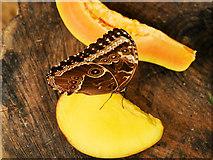 SJ4170 : Butterfly Journey, Owl Butterfly Feeding by David Dixon