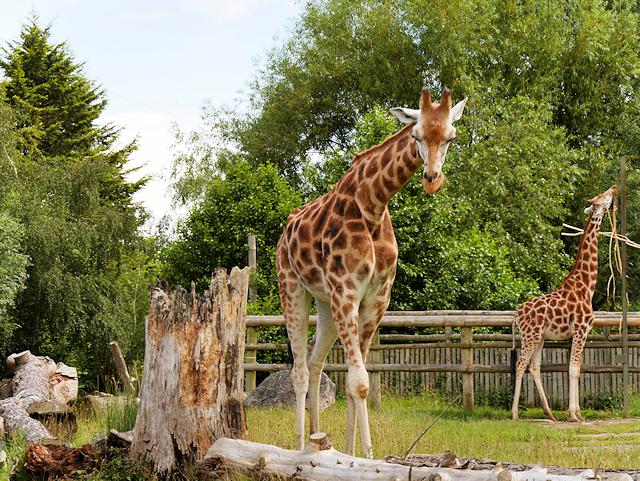 Giraffe Cam Paddock