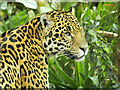 SJ4170 : Chester Zoo, Spirit of the Jaguar by David Dixon