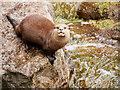 SJ4170 : Short-Clawed Otter by David Dixon