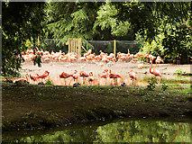 SJ4170 : Flamingos at Chester Zoo by David Dixon