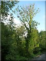 SO0288 : Ash tree with dieback, Llandinam by Christine Johnstone