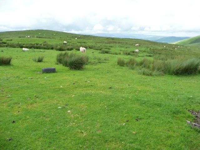 Sheep grazing above Rhiw Fawr