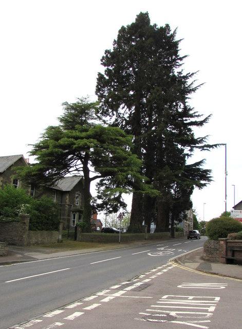 Dominant conifers, Hill Street, Lydney