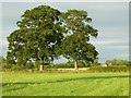 SO8642 : Oak trees by Philip Halling