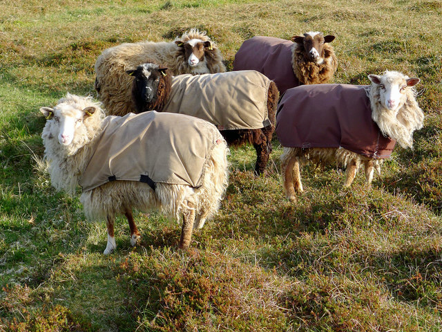 Prized Foula Sheep