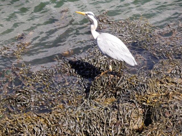 Grey Heron (Ardea cinerea) in Tayport Harbour