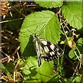 SX9066 : Marbled white butterfly, Nightingale Park by Derek Harper