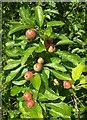 SX9066 : Apples, Nightingale Park by Derek Harper
