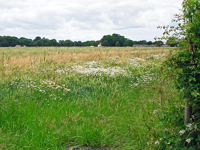 Field margin with oxeye daisies
