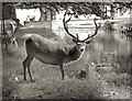 TQ1568 : Stag by the Water by Des Blenkinsopp
