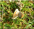 NT9108 : Small heath butterflies (Coenonympha pamphilus) by Russel Wills
