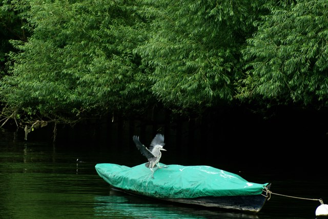 View of a heron falling off a boat on the Thames