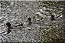 SS9712 : Mid Devon : Grand Western Canal - Ducks by Lewis Clarke