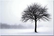 SJ9146 : Snowy Tree by Brian Deegan