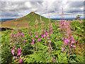 NZ5812 : Roseberry and fireweed by Mick Garratt