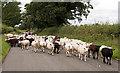 NY4762 : Cumbrian traffic jam! by The Carlisle Kid