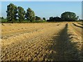 SO8641 : Rows of straw by Philip Halling