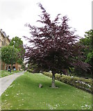 SZ0891 : 1997 commemorative tree near Bournemouth Town Hall by Jaggery