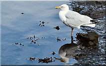 J3674 : Herring gull, Connswater, Belfast (July 2016) by Albert Bridge
