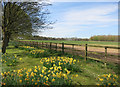 SU4277 : Daffodils down the drive by Des Blenkinsopp