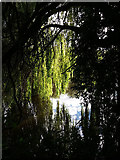 SE2536 : Willows by the river Aire by Stephen Craven