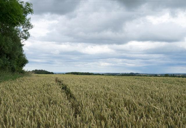 Wheat field adjacent to Bellamour