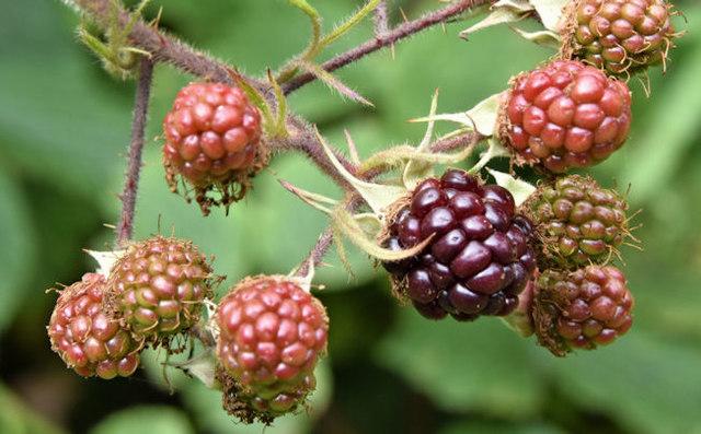 Blackberries, Comber Greenway, Belfast - August 2016(2)