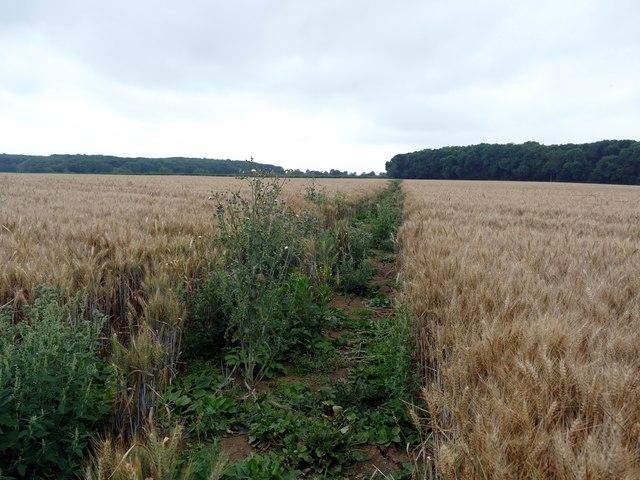 Footpath through a wheatfield