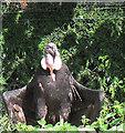 SE4536 : Lotherton bird garden: condor by Stephen Craven
