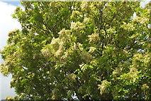 SX9065 : Flowering ash, Cricketfield Road by Derek Harper