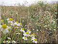 SE2336 : Daisy field at Rodley nature reserve by Stephen Craven