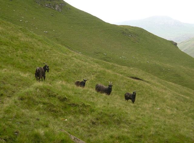 Feral goats, by Bealach an Òir
