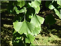 SO8844 : Leaves on a ginkgo tree by Philip Halling