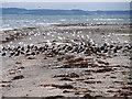 NX0467 : Seabirds on The Scar by David Dixon