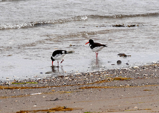 Oystercatchers at Wig Sands