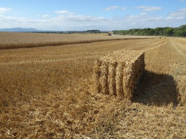 Straw bale in a wheat field
