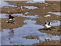 NX0661 : Oystercatchers, Stranraer Harbour by David Dixon