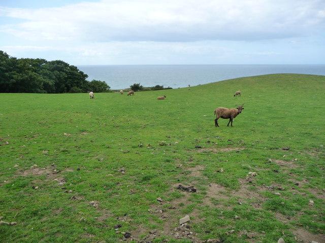 Sheep grazing at Ballanquine