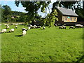 SK8231 : Sheep grazing by the village school in Knipton by Richard Humphrey