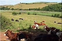 SX8158 : View to the Dart with cattle by Derek Harper