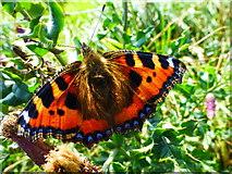 D0444 : Tortoiseshell butterfly, Ballintoy by Kenneth  Allen